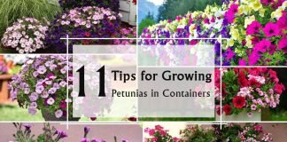Growing Petunias in Containers