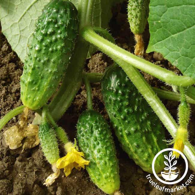 Types of Cucumber