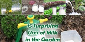 Uses of Milk for Plants in the Garden