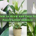 Growing Peace Lilies Indoors