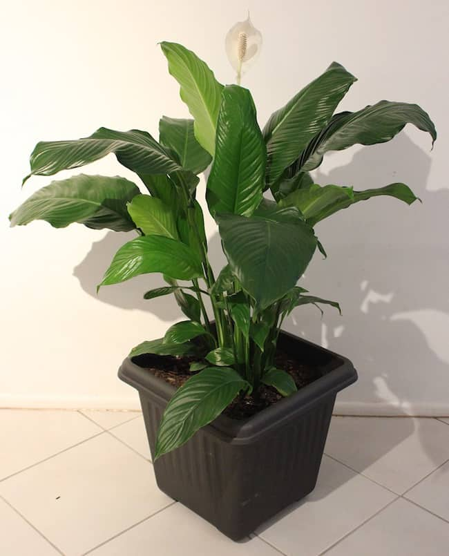 Peace Lily Indoor Care