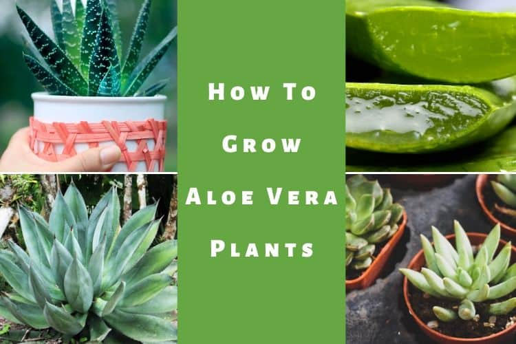 How To Grow Aloe Vera Plants