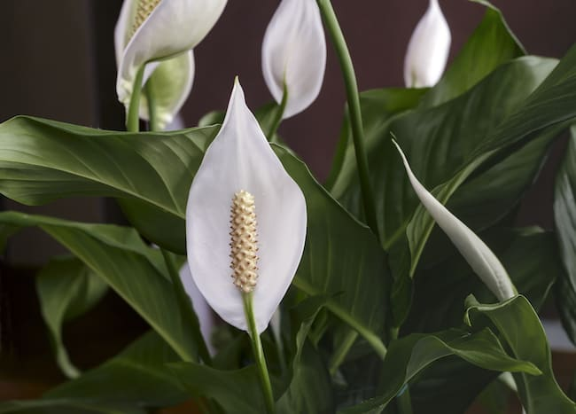 Peace Lily Benefits