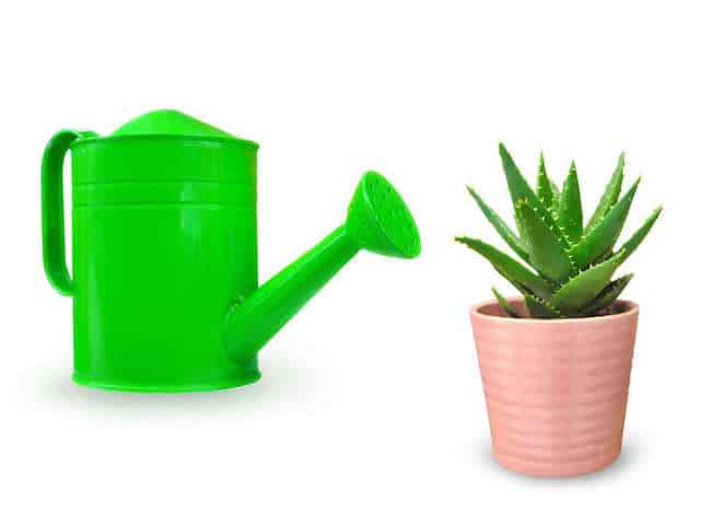 How do you care for an Aloe plant