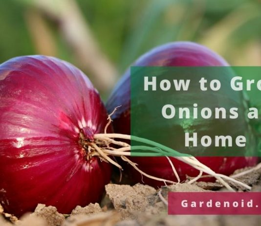 Grow Onions at Home
