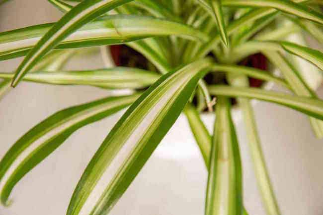 Growing Spider Plants