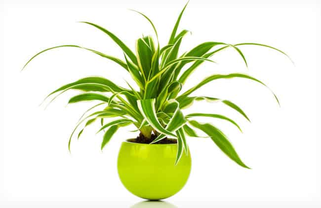 Spider Plant care Indoors