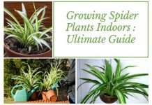 Growing Spider Plants Indoors