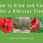 How to Grow Hibiscus Tree