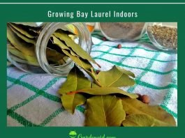 Growing Bay Laurel Indoors