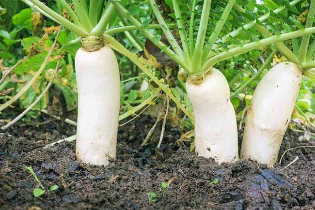 Companion Plants for Zucchini